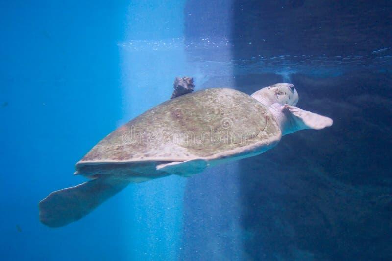 Tartaruga-Huatulco México do mar fotos de stock royalty free