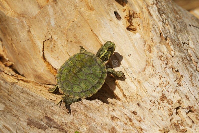 Tartaruga inchada amarelo do slider - Alabama EUA foto de stock
