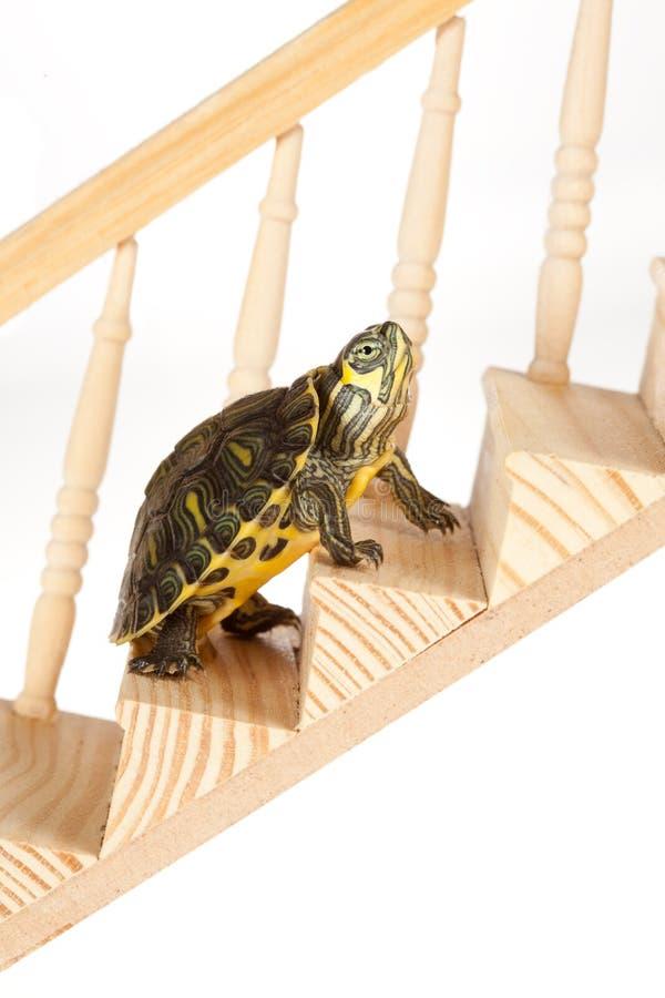 Tartaruga lenta sulla scala fotografia stock