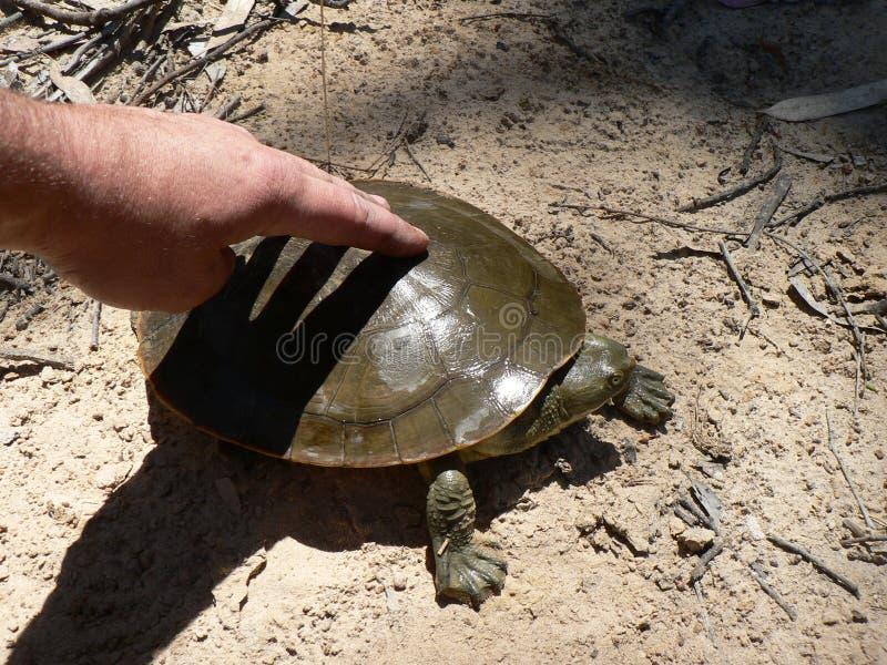 Tartaruga liberada de volta a Murray River Australia fotos de stock royalty free