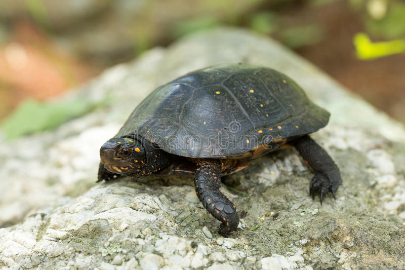 Tartaruga macchiata orientale immagini stock