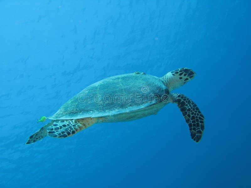 Tartaruga marina 02 immagini stock libere da diritti