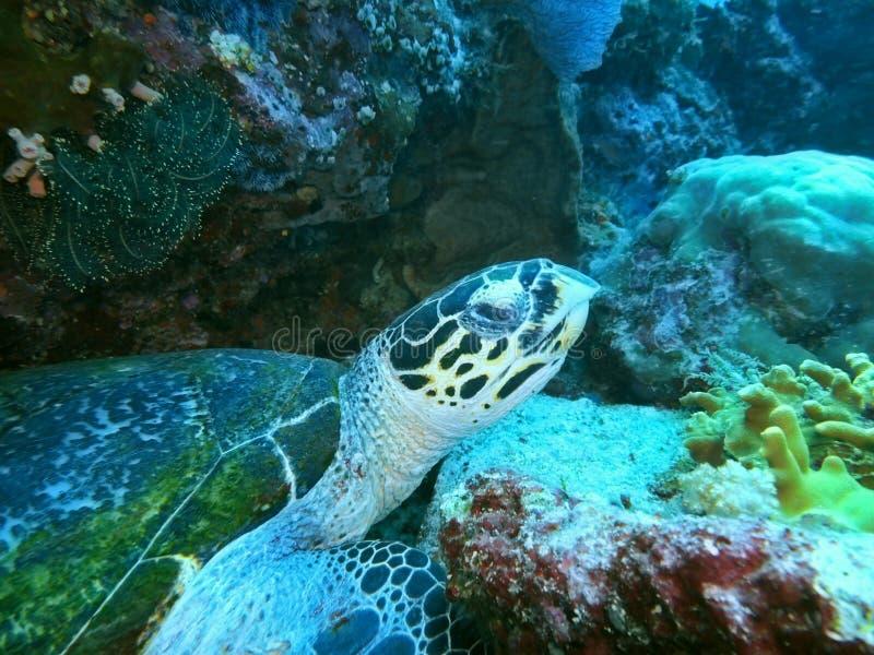 Tartaruga marina immagini stock