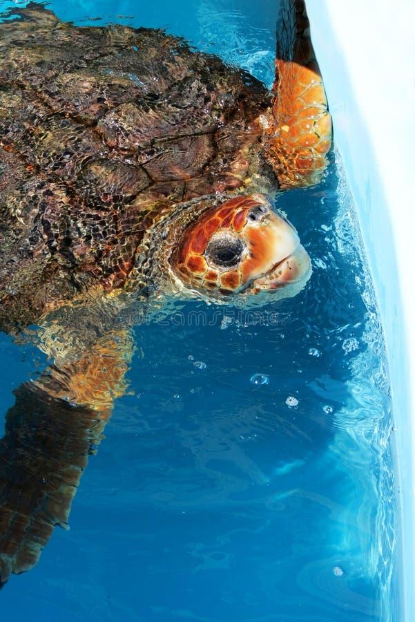 Tartaruga marinha na água da associação imagens de stock