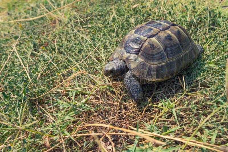 Tartaruga mediterrânea do estepe na grama verde imagens de stock royalty free