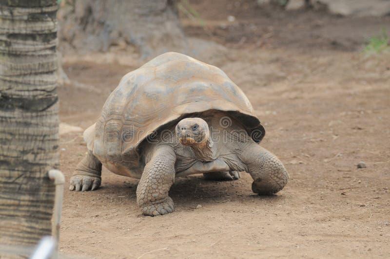Tartaruga molto grande di Brown su Brown fotografia stock libera da diritti