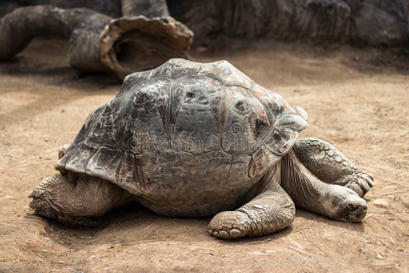 Tartaruga molto vecchia e grande, tartaruga di galapagos fotografia stock libera da diritti