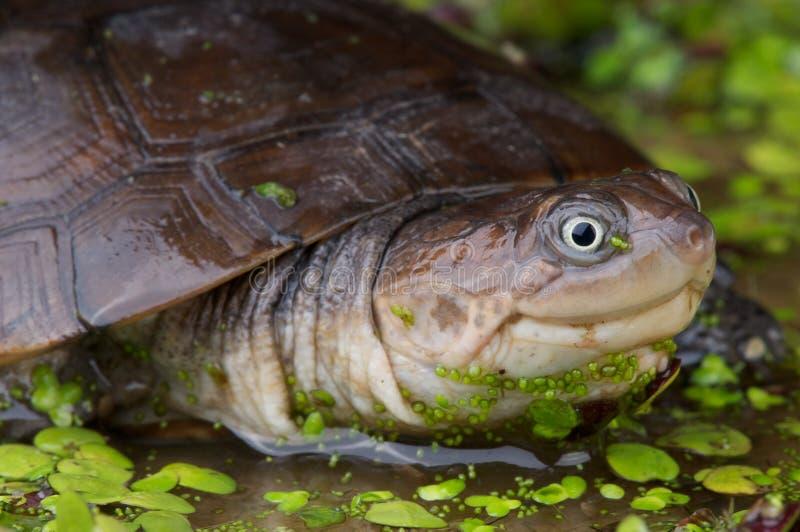 Tartaruga munita di casco africana fotografie stock libere da diritti