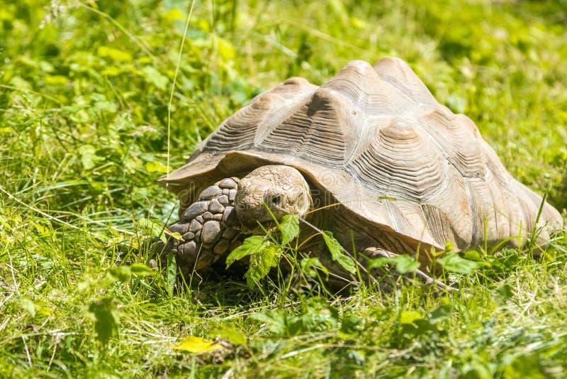 Tartaruga na grama verde imagem de stock royalty free