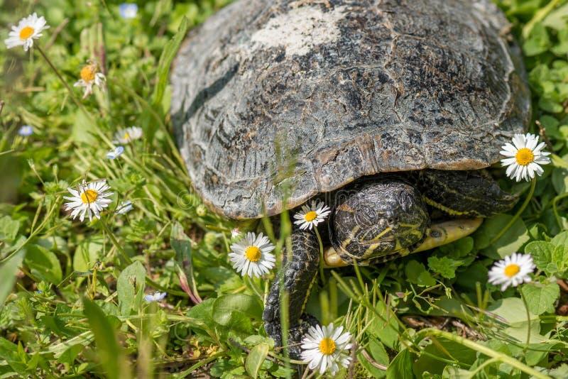 Tartaruga na grama verde com flores imagem de stock