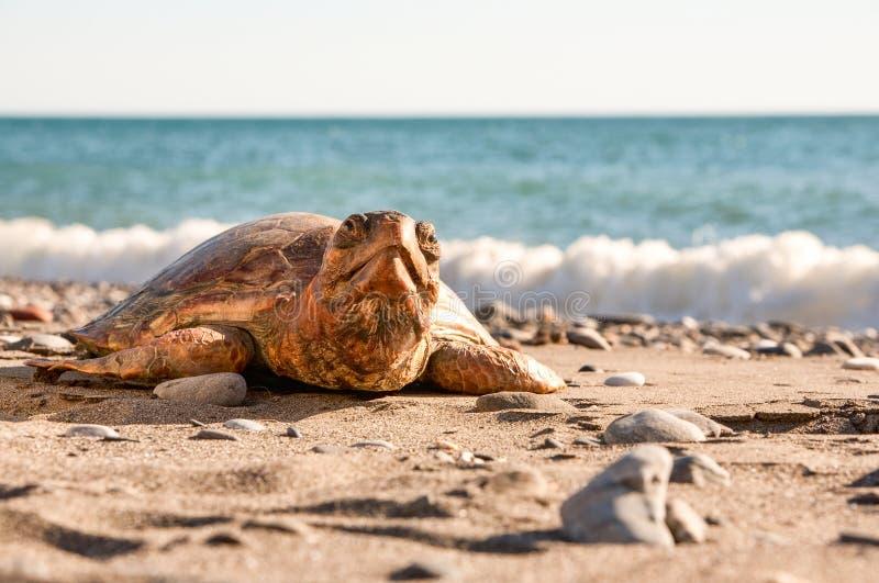 Tartaruga na praia imagem de stock royalty free