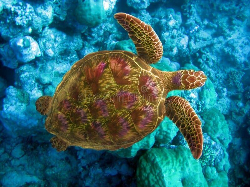 Tartaruga nas pedras. Oceano Índico. foto de stock royalty free