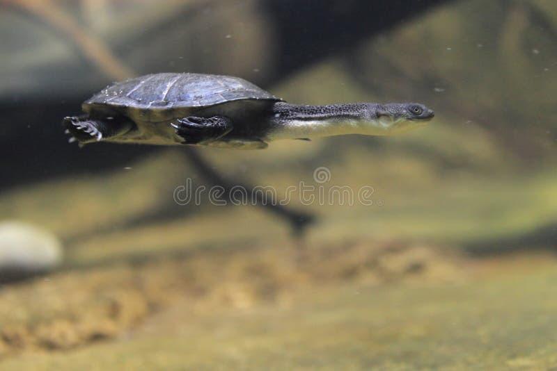 Tartaruga necked da serpente da ilha de Roti fotos de stock royalty free