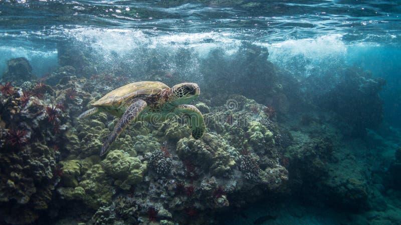 Tartaruga nella rottura Wave immagine stock libera da diritti