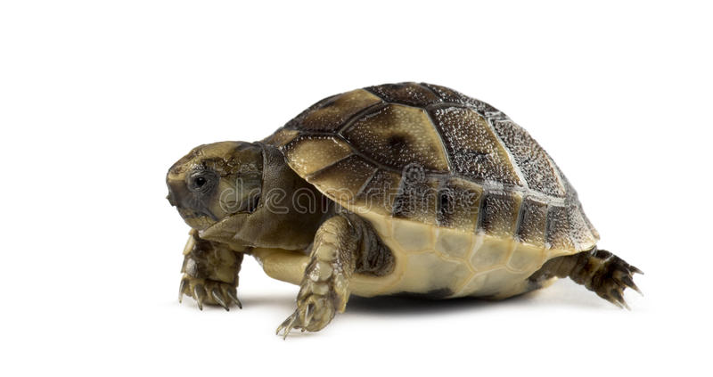 Tartaruga neonata, isolata fotografia stock libera da diritti