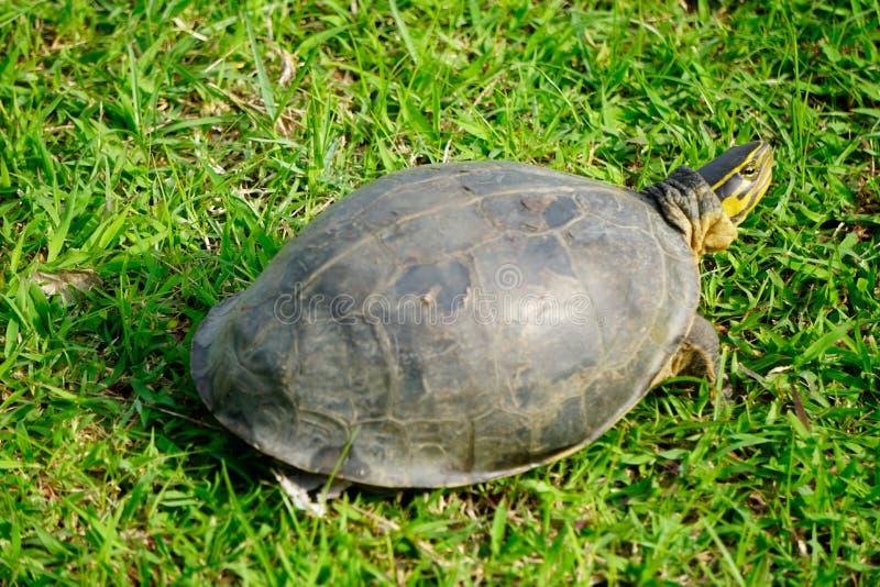 Tartaruga nera che cammina sull'erba fotografia stock