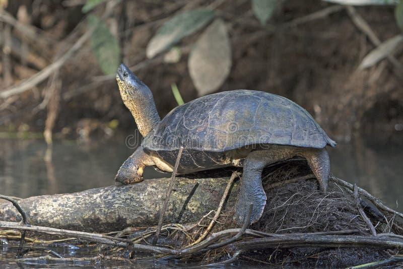 Tartaruga nera del fiume che si espone al sole fotografia stock