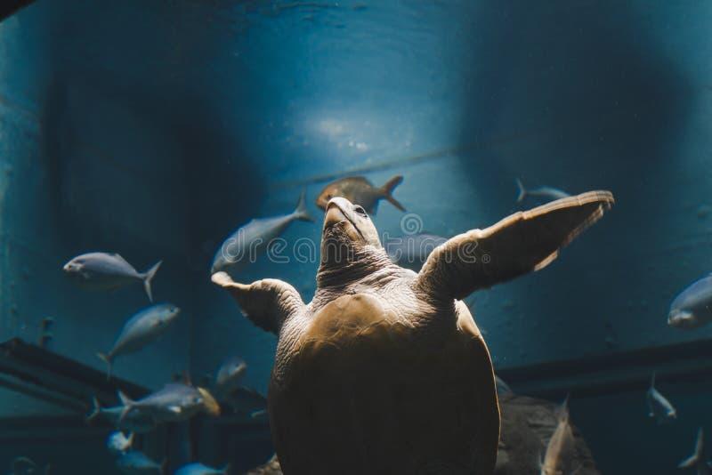 Tartaruga no aquário do armário de vidro imagem de stock