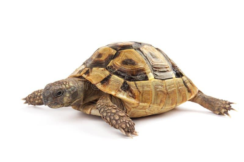 Tartaruga no fundo branco foto de stock