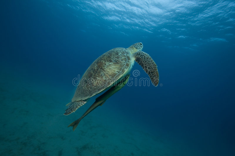 Tartaruga in oceano immagine stock libera da diritti