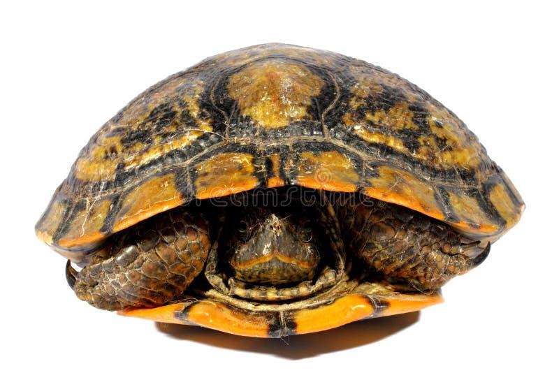 Download Tartaruga Ocidental Da Galinha Foto de Stock - Imagem de espécie, nave: 26516354