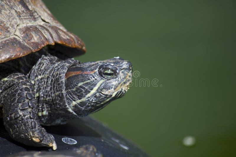 Tartaruga orelhuda vermelha do slider foto de stock