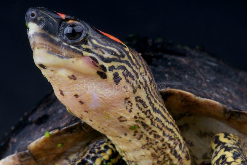 tartaruga Punto-fornita di gambe fotografia stock