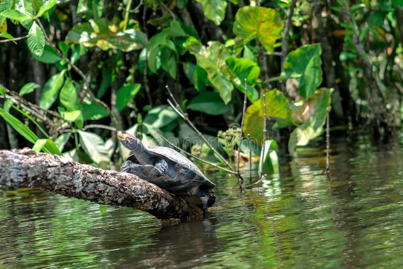 Tartaruga que escala acima um log sobre o rio na selva fotografia de stock royalty free