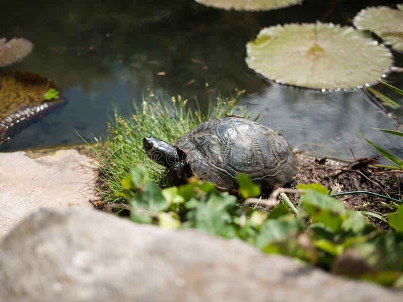 Tartaruga que vive na lagoa do jardim fotos de stock royalty free