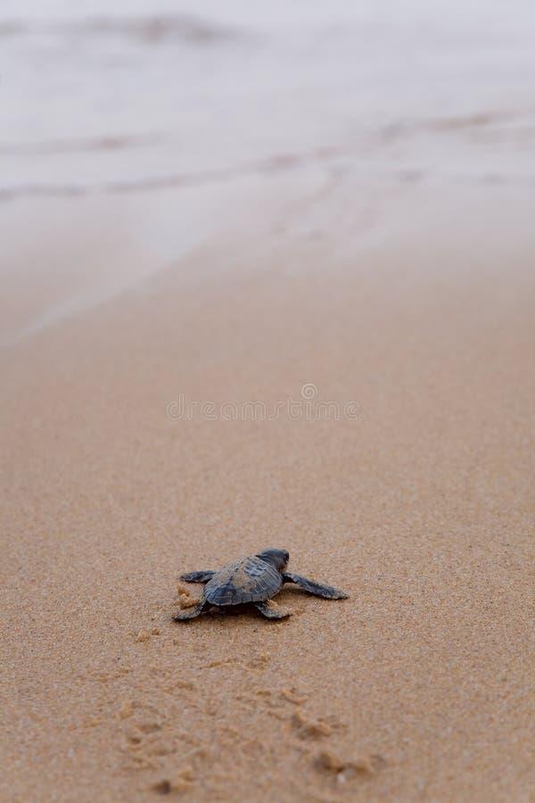 Tartaruga recentemente chocada da boba do bebê imagens de stock