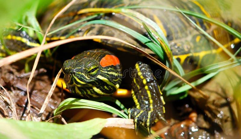 Tartaruga rossa del cursore dell'orecchio che bighellona in sua greppia fotografie stock libere da diritti