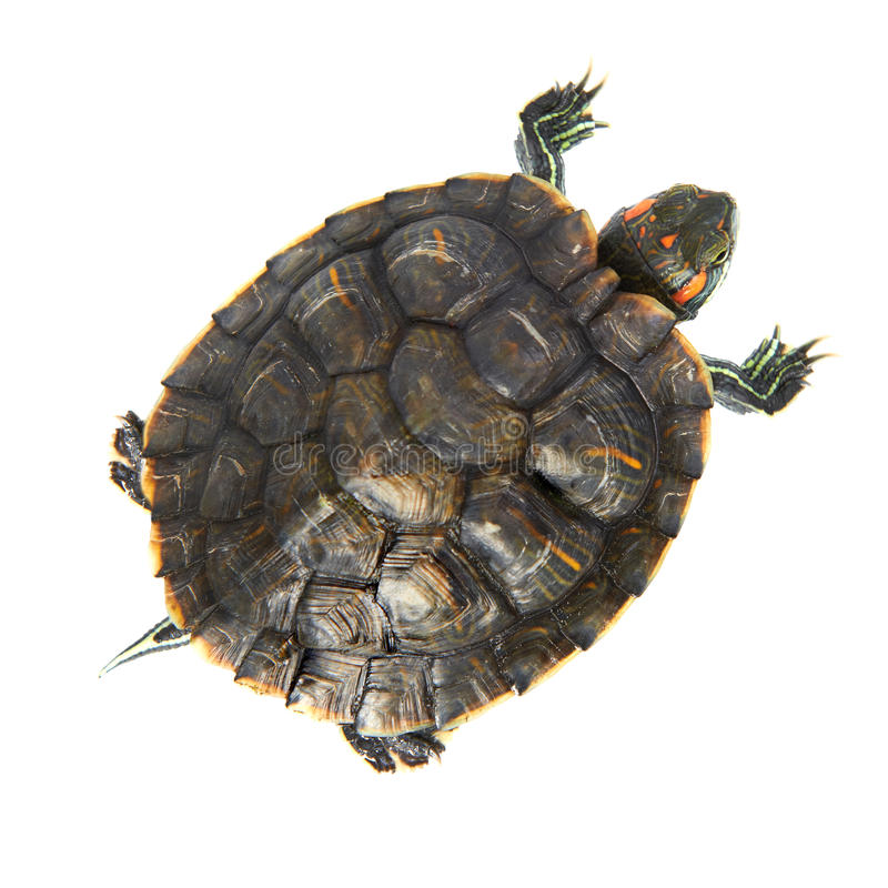 Tartaruga rossa dell'orecchio fotografie stock