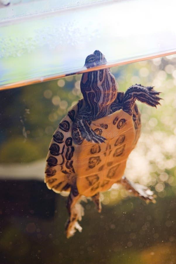 Tartaruga rossa dell'orecchio in acquario fotografia stock libera da diritti