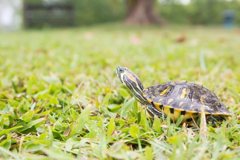 Tartaruga rossa dell'orecchio su erba fotografia stock
