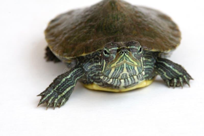 tartaruga Rosso-eared del cursore. fotografia stock