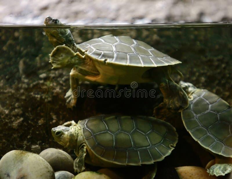 Tartaruga - sfuocatura dell'acqua fotografia stock libera da diritti