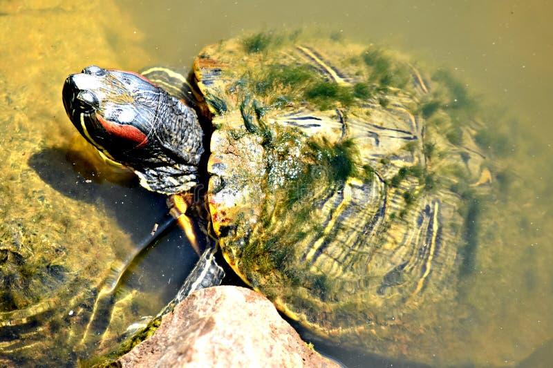 Tartaruga, slider orelhudo vermelho, no jardim zoológico de Oklahoma City fotografia de stock
