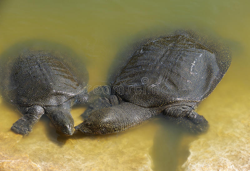Tartaruga Soft-shelled del Nilo (triunguis del Trionyx) immagine stock libera da diritti