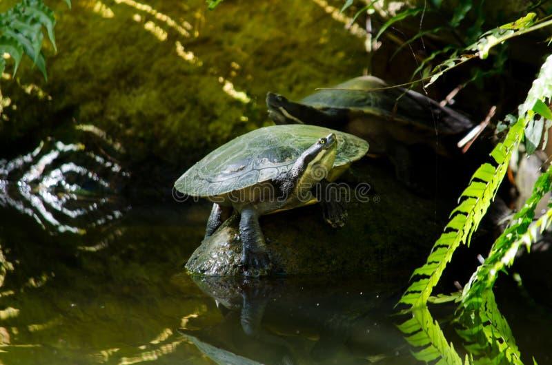 Tartaruga sorridente fotografia stock