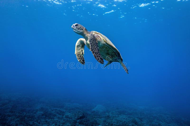 Tartaruga sospesa fotografie stock