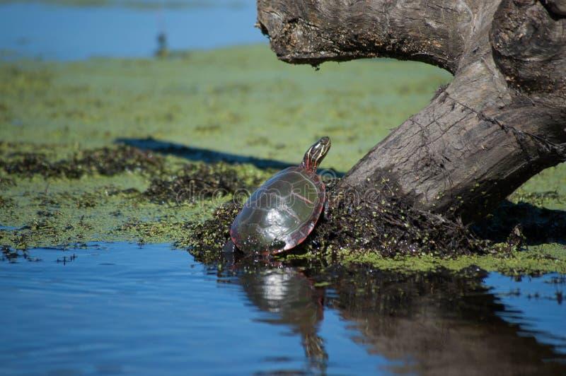 Tartaruga su un ceppo immagini stock libere da diritti