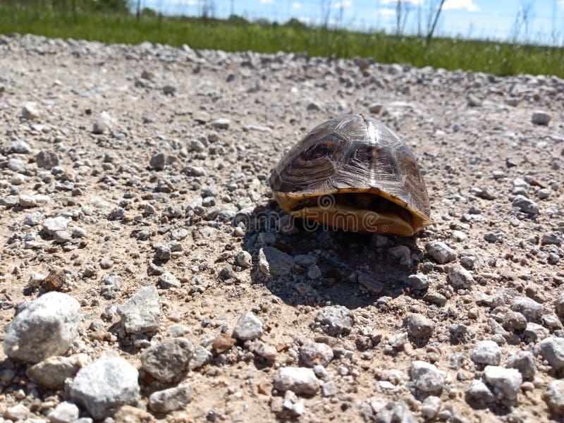 Tartaruga su una strada campestre fotografia stock libera da diritti