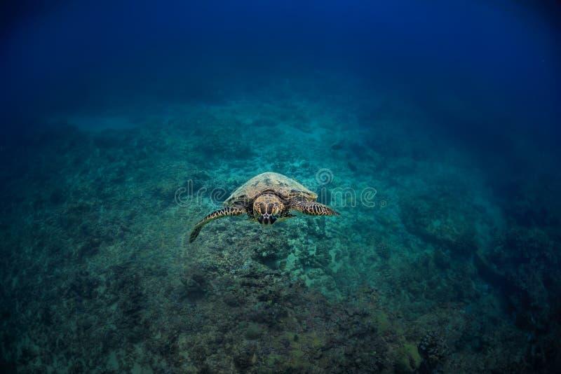 Tartaruga subacquea contro la scogliera blu immagine stock libera da diritti