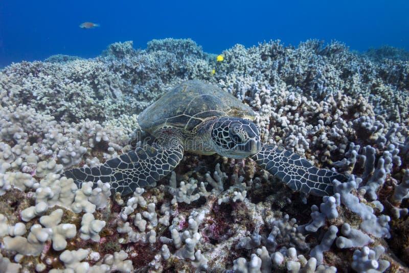 Tartaruga sul corallo fotografia stock libera da diritti