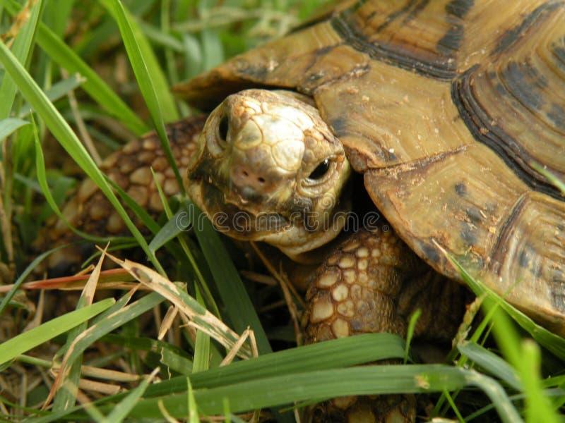 Tartaruga sull'erba verde fotografia stock