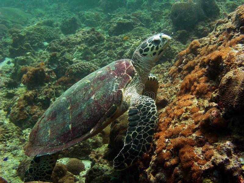 Tartaruga, Tailandia immagine stock