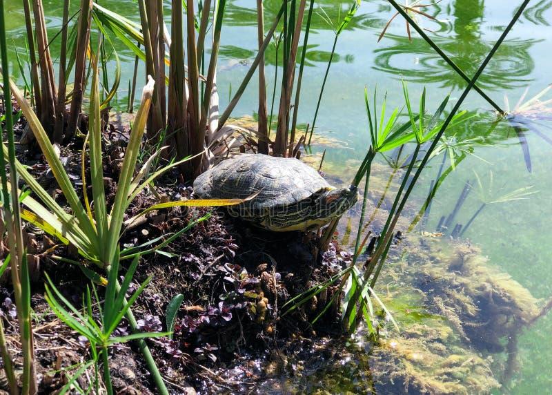 A tartaruga toma sol no sol imagens de stock royalty free