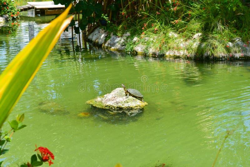 Tartaruga un rocha apanhar del na del solenoide fotografía de archivo libre de regalías