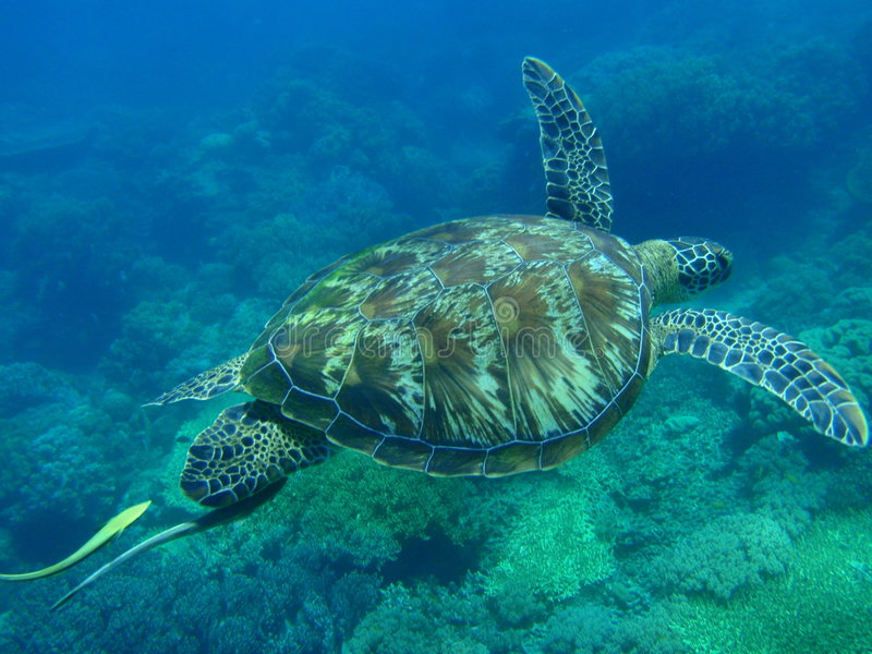 Tartaruga verde fotos de stock