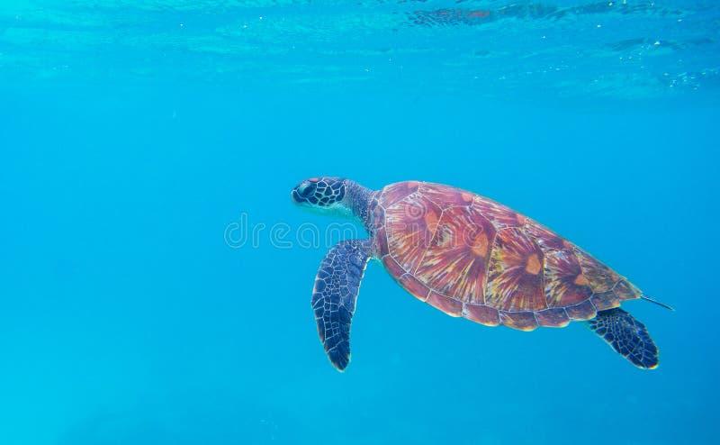 Tartaruga verde dalla foto subacquea della superficie del mare Primo piano della tartaruga di mare Animale oceanico in natura sel immagini stock